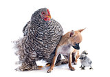 orpington chicken and chihuahua