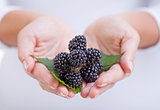 Fresh blackberries  in woman hands