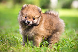Small Pomeranian puppy