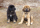 Tibetan Mastiff puppies