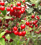 Crop of cherries