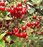 Crop of cherries