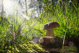 autumn boletus mushroom fungus forest grass sun light