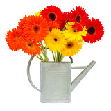 gerbera flowers in gray watering can