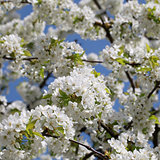 Blossoms on a cherry tree in spring