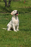 cute labrador puppy sitting on the grass