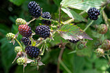 sprig of blackberries