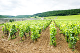 vineyards near Gevrey-Chambertin, Cote de Nuits, Burgundy, Franc