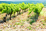 vineyards near Chateauneuf-du-Pape, Provence, France