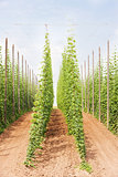 hops garden, Czech Republci
