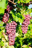 grapevine in vineyard (gewurztraminer), Alsace, France