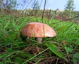 brown cap boletus in a field