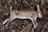 Dead wild rabbit