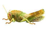 Nymph of Egyptian Locust species Anacridium aegyptium