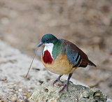 Mindanao Bleeding-Heart Dove