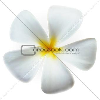 Frangipani Flower isolated on white, vector Eps10 image