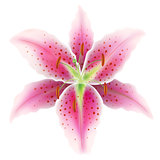 Pink lily on a white background, vector Eps10 illustration.