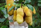 Tropical plant - jackfruit tree in forest