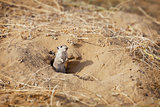 Rodent Indian desert jird (Meriones hurrianae)