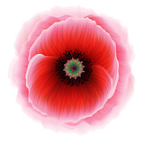 Red poppy flower, vector Eps10 illustration.