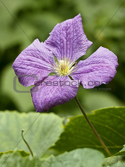 Clematis flower close up