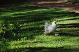 Chicken with white plumage