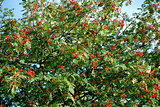 Mountain ash laden with berries