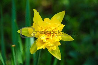 Daffodil close up