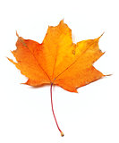 Autumn yellow maple leaf