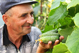 several cucumber in a hand of farmer