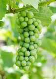 Unripe green grapes