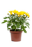 Decorative yellow chrysanthemum in pot