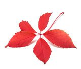 Red autumn virginia creeper leaf