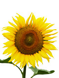 Isolated sunflower in focus
