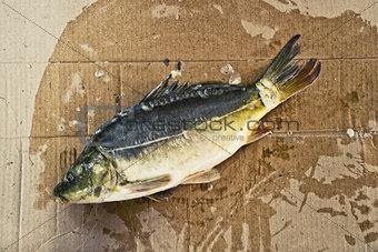 Carp fish preparing