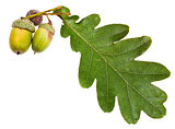 green oak leaf and acorns
