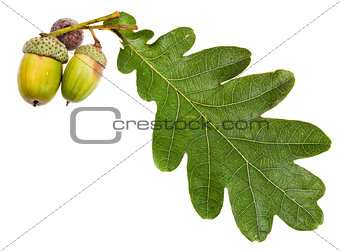 green oak leaf and acorns