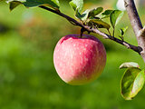 ripe pink apple