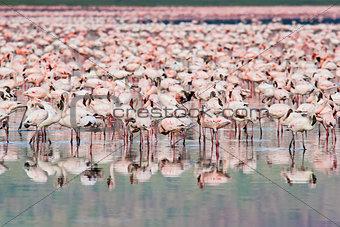 Thousands of Flamingos on Lake Nakuru