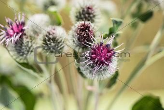 weed flowers