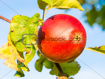 Closeup apple on tree