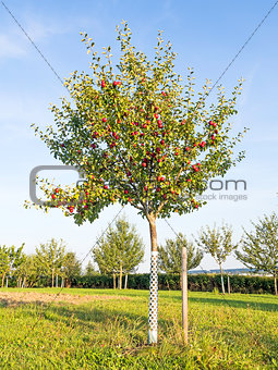 Picture of an apple tree