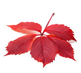 Autumn red leave (Virginia creeper leaf)