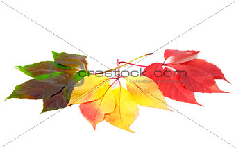 Three leafs of different seasons isolated on white background