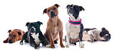five staffordshire bull terrier