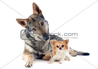 Czechoslovakian Wolfdog and chihuahua