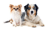 australian shepherd and chihuahua