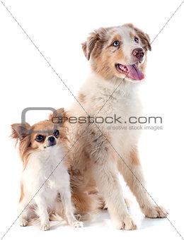 australian shepherd and chihuahua