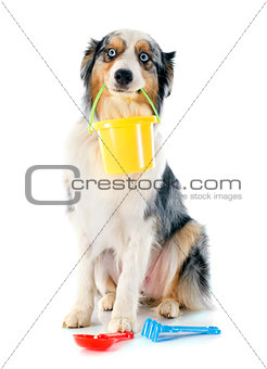 australian shepherd in holiday