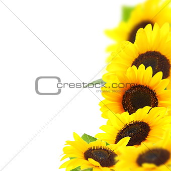 Beautiful yellow sunflowers.